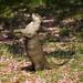 otter standing