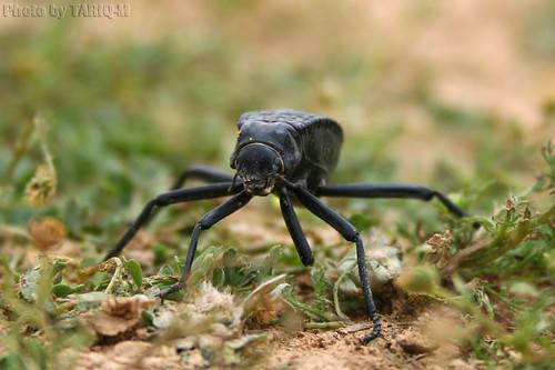 Beetle by TARIQ-M