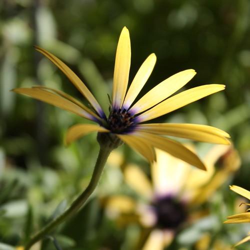 Flower, Silverton, CO