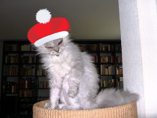 Fluffy, our blind Selkirk Rex