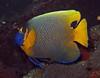 Yellowmask angelfish - Pomacanthus xanthometopon by divemecressi