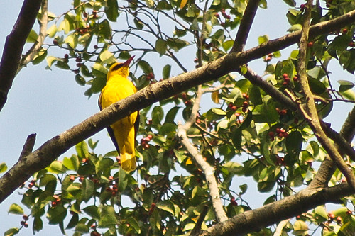 Golden Oriole Male.
