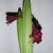 Vemodig amaryllis - Anmaja