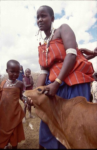 Maasai woman holds her calf immunized against East Coast fever