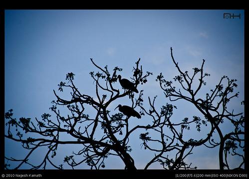 Silhouetted Ibis | Kabini