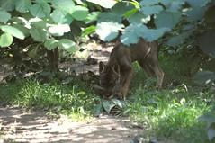 Iberischer Wolf im Gaia Park Kerkrade im August 2010