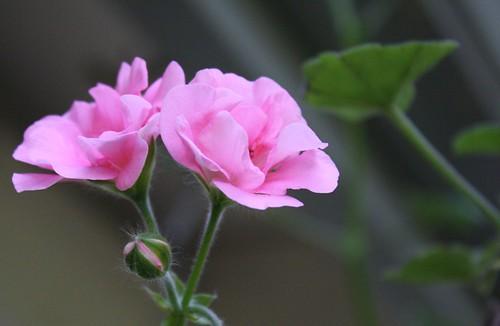 geranium in winter 2