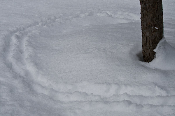The dog has plowed herself a trail around her favorite squirrel tree.