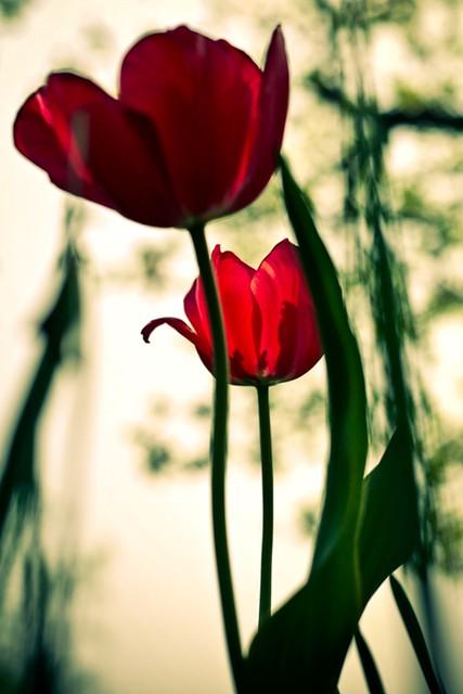 12x 16 lomo tulips in sunlight
