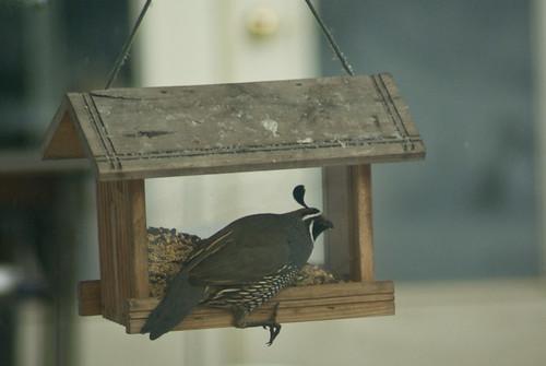 precarious quail