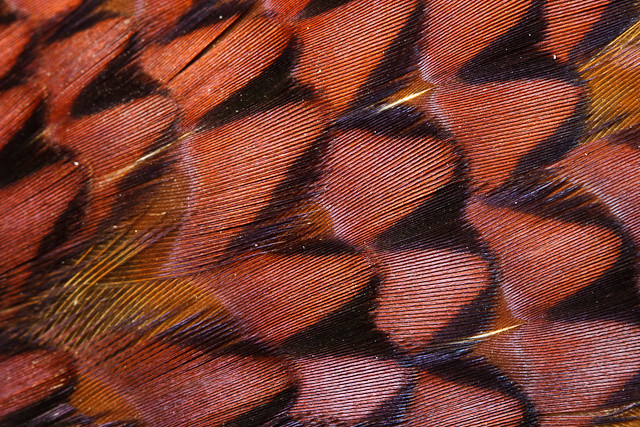 Patterns amongst a pheasant's colorful plumage