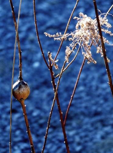 goldenrod ball gall