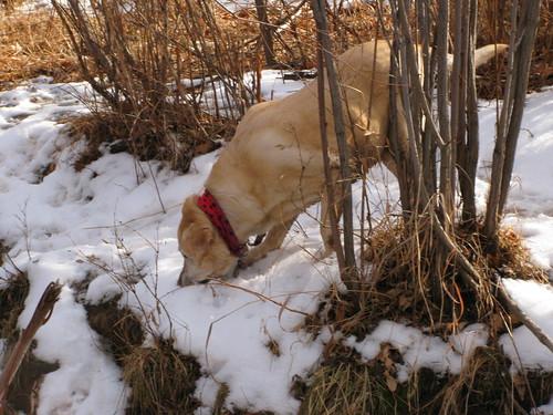 Sadie loves to eat snow
