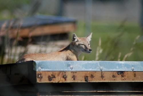 Steppenfuchs im Hamerton Zoo Park