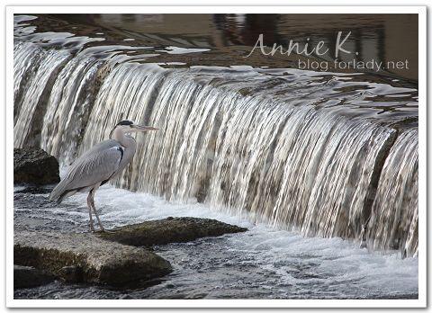 京都鴨川水鳥