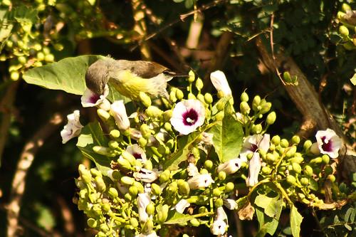 Purple Rumped SunBird(Female)