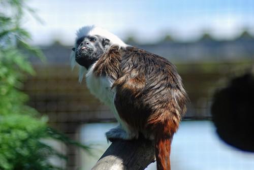 Lisztaffe im Hamerton Zoo Park