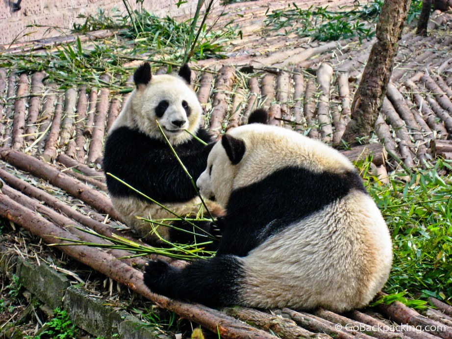 """panda essay Ailuropoda melanoleuca otherwise known as the """"giant panda"""" is  factors increasing extinction rates in giant  this essay will discuss what."""