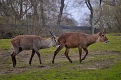 Defassa-Wasserböcke im Dierenpark Emmen im April 2010