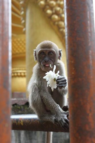 201102180747_Batu-cave-monkey