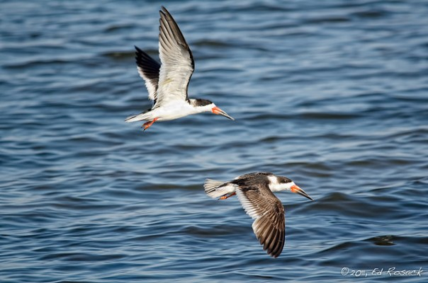 A pair of Black Skimmers in flight