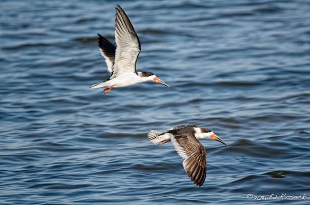 A pair of Black Skimmers in flight