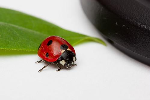 A ladybug, a leaf and a lenscap