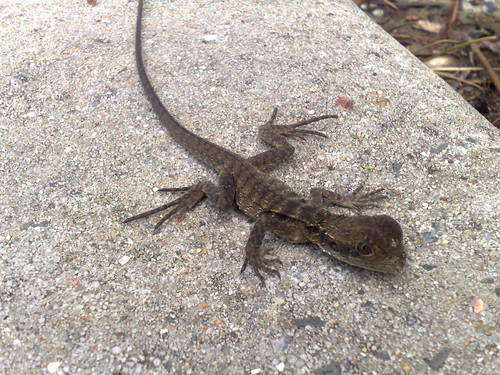Baby eastern water dragon