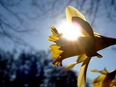 Daffodil and sun, enhanced a little