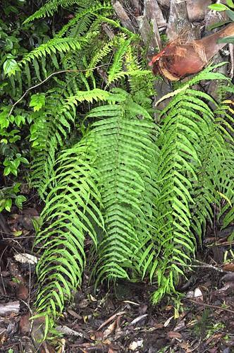 Goniophlebium subauriculata