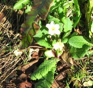 first primrose