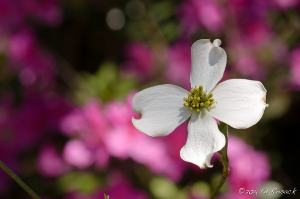 Dogwood blossom in front of azaleas
