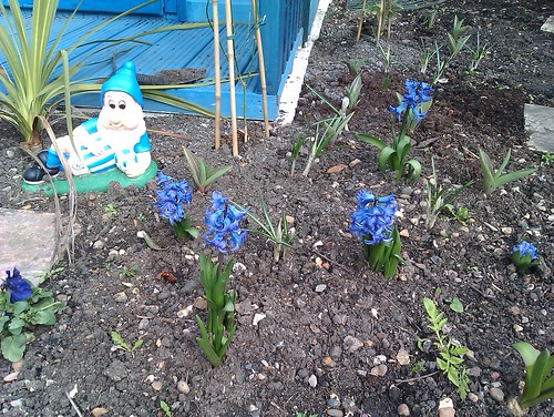 Chrysanthemum and Huddersfield Town Gnome