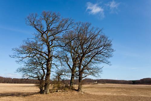 Naked trees by Håkan Dahlström