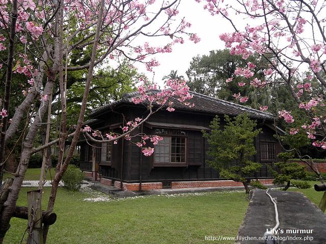 舊農校校長宿舍(九芎埕藝術廣場音樂館)旁櫻花盛開。