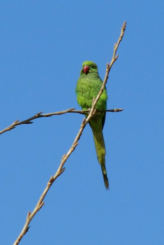 Birds of Kabul: Rose-ringed parakeet
