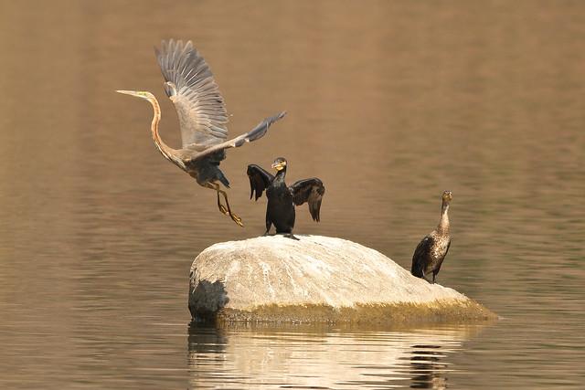 Purple Heron and Little Cormorants