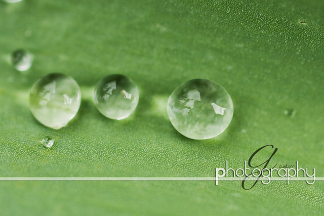Water on the tulip leaf