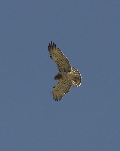 Short-toed Eagle (Circaetus gallicus) 04 by Mike at Sea