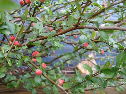apple bush in bloom