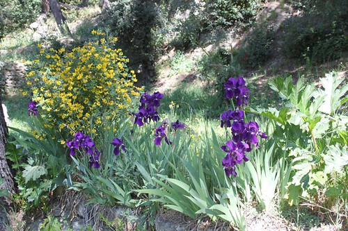 20110410_1428_Bonpas-purple-irises