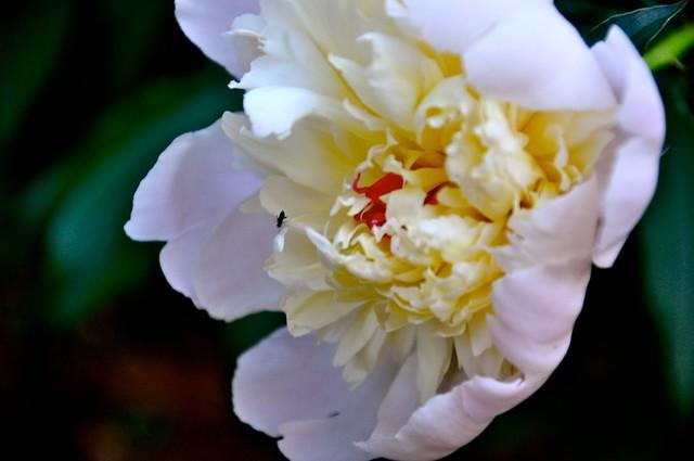 open lotus garden open peony