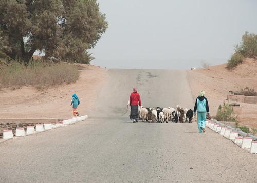 Bringing the sheep home