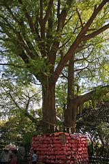 江の島めぐり―むすびの木(Tree, Enoshima, 2011)