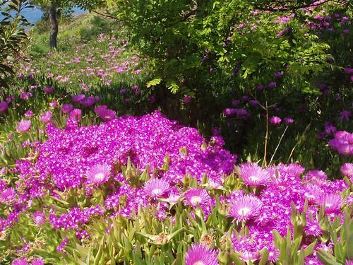 201104230049_helichrysum-flowers