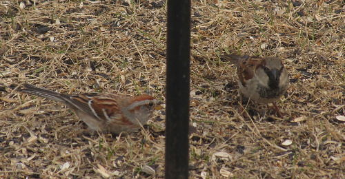 Young male House Sparrow with American Tree Sparrow