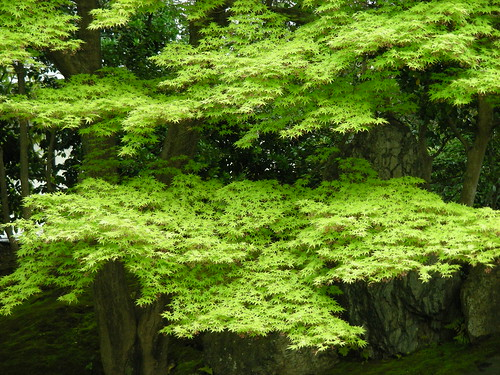 glorious green acer
