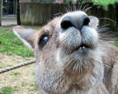 Grey Kangaroo 20110430_15