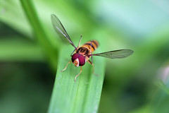 生田緑地のホソヒラタアブ(Fly, Ikuta Ryokuchi Park, Kawasaki, Kanagawa, Japan, 2011)