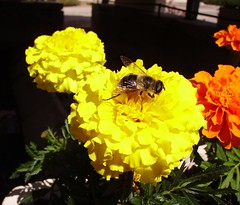 Bee foraging on French marigold